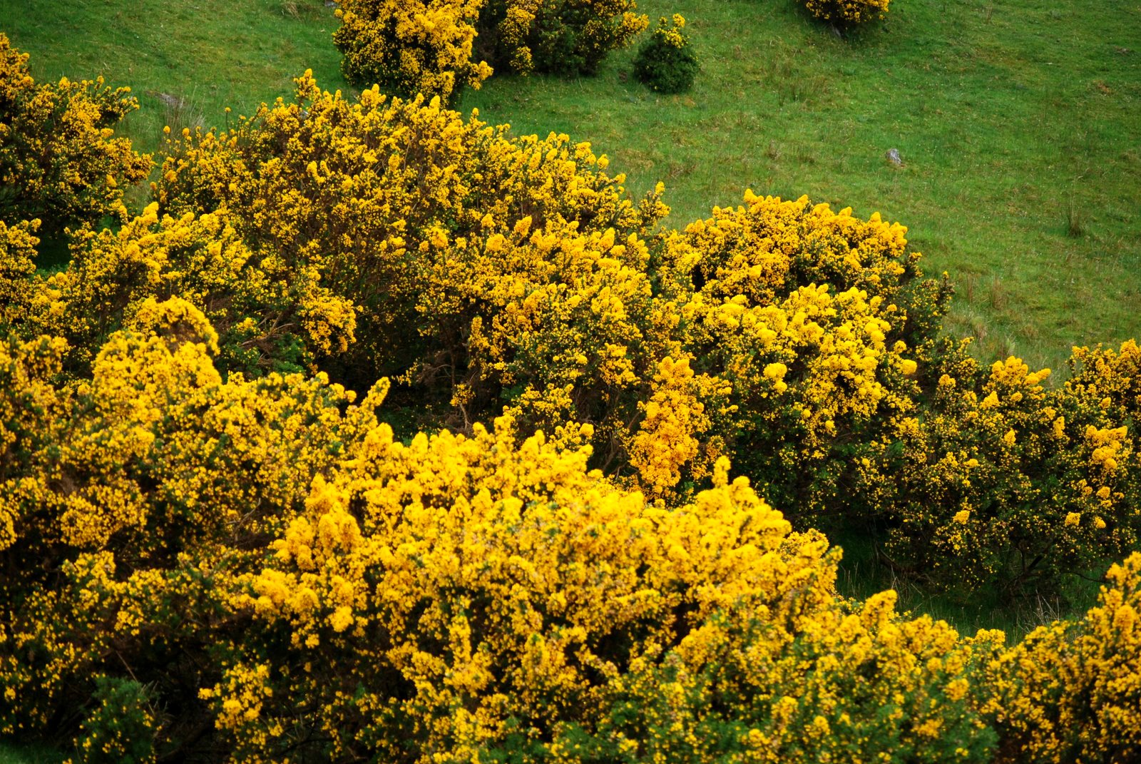 bright-ireland-gorse-bush